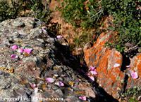 rock, rose petals
