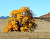 tree, autumn tree